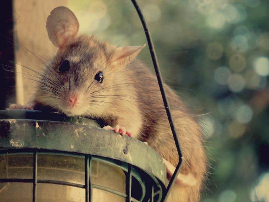 Comment se dbarrasser des rats dans une maison fabulous comment se dbarrasser des rats dans une - Comment se debarrasser des rats ...